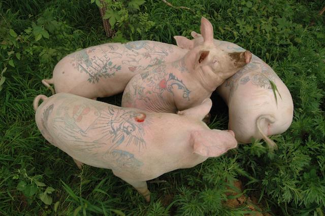trois des sept cochons, 2009
